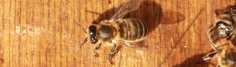 Zürcher Bienenfreunde - Willkommen in der Welt der Bienen