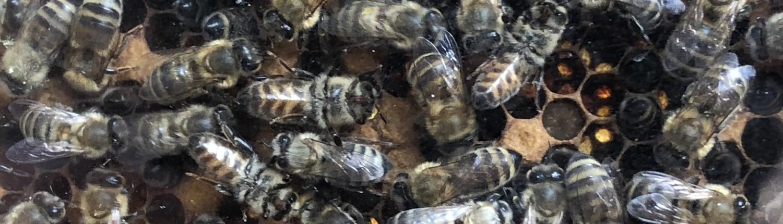 Bienen produzieren mitten in Zürich